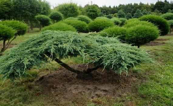 Садовый средина - Зеленый Дом (ООО) - Формированные растения