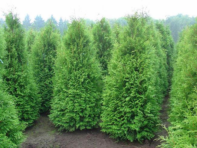 Садовый ось - Зеленый Дом (ООО) - Хвойные растения